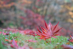 Standing Leaves (littlekiss☆) Tags: autumn fall fallenleaves autumnleaves nature mapleleaves vancouver littlekissphotography