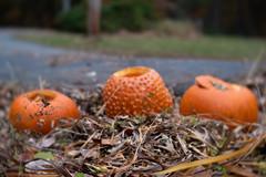 291/365@50 (Ruff Edge Design) Tags: halloween lensbaby velvet56 pumpkins jackolanterns carved decay weeds