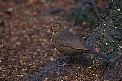 IMG_0152 (LezFoto) Tags: canoneos700d sigma 700d canon 120400mmf4556dgapooshsm digitalslr dslr canonphotography sigmalens blackbird turdusmerula carniewoods aberdeenshire scotland unitedkingdom thrushes bird uk