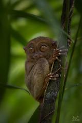 Tarsier (dejongbram) Tags: tarsier bohol tree animal primate monkey lemur philippines nature nikond500 forest wood jungle