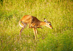 Baby impala (igor29768) Tags: baby calve impala africa kenya tsavo panasonic lumix gx7 100300mm