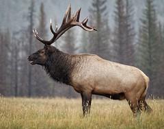JasperElk_Sept15_384 (Archie Richardson) Tags: elk elkbull jasper
