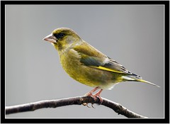 GREENFINCH { m } (PHOTOGRAPHY STARTS WITH P.H.) Tags: greenfinch male haldon forest exeter devon nikon d500 500mm afs vr sb800 fill flash gitzo mk 5 wimberley rig