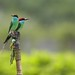 Blue-throated Bee-eater 蓝喉蜂虎 (jeffobt) Tags: