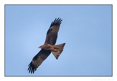 Hunting (JohnKuriyan) Tags: bangalore karnataka india gkvkcampus blackkite