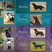 Pedigree (Blazingstar) Tags: studio 26 collage pedigree blazingstar dogs flatcoated retriever texture