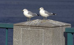 two gulls on the pillar (henulyphoto) Tags: pillar concrete fence iron sea ocean water gull wing feather