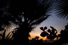 Sunset (LTL78) Tags: sandiego california usa fujifilm x100t ocaso sunset shadow flower álmera sombraetiquetas
