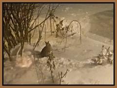 Rabbit In Winter (bigbrowneyez) Tags: winter neve snow inverno nature natura rabbit shrubs night nightshot notte bello striking fantastic fabulous hungry hungryrabbit coniglio ottawa canada january frontgarden rabbitinwinter cold freddo animal sepia mood
