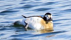 Long-tailed Duck female (Lois McNaught) Tags: longtailedduckfemale duck bird avian nature wildlife burlington ontario canada