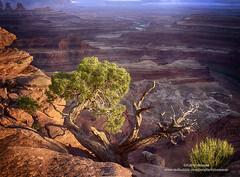 www.redbubble.com/people/kdxweaver/works/27315793-living-on-the-edge-canyonlands-national-park (kweaver2) Tags: redbubble kathyweaver nature landscape canyonlands national park ut utah tree scenic