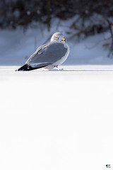 ''Immaculé!'' Goéland à bec cerclé-Ring-billed gull (pascaleforest) Tags: oiseau bird animal passion nikon nature snow neige wild wildlife faune québec canada light lumière automne
