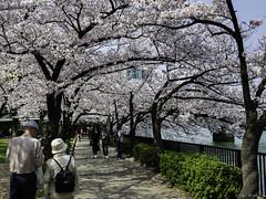 Osaka - Kema Sakuranomiya Park (Noti NaBox) Tags: osaka japon japan cherry blossom cerisier fleur park parc kema sakuranomiya lumixg80 lumix lumixg85