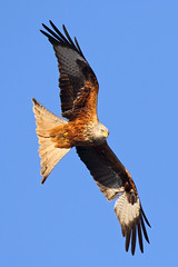 Kite (Treflyn) Tags: red kite catching rays sun sunshine back garden earley reading berkshire wild wildlife bird prey raptor