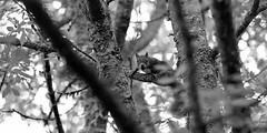 Rouquins des bois (Amanda Hinault - 風流韻事) Tags: ccbysa photobyamandahinault creativecommons animaux animals faune fuji xt1 fujixt1 ecureuil noiretblanc blackandwhite nb noirblanc blackwhite bw monochrome