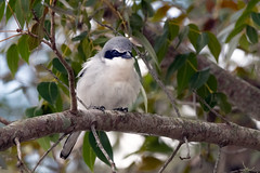 Loggerhead Shrike (Lisa Saffell) Tags: birds bird shrike loggerheadshrike nature wildlife birding florida travel songbird