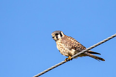 American Kestrel on a Wire (dbadair) Tags: outdoor water nature wildlife 7dm2 canon florida bird ftdesoto ft
