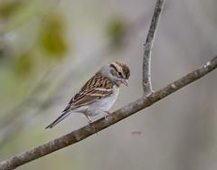 Chipping Sparrow(Spizella passerina) (eros3714) Tags: sparrows chippingsparrows birds nikon naturephotography nikond4 naturecenter evergladesnationalpark outdoors enp eros egrettarufescens everglades spizellapasserina