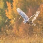 Snowy Owl - Autumn sunrise D85_6094.jpg thumbnail
