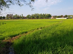 Rice paddies in Ban Thung That 2 (SierraSunrise) Tags: agriculture esarn farming grain isaan nongkhai paddyrice phonphisai plants poaceae rice ricepaddies ricepaddy thailand