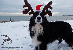 Deer Friends are for Life (ASHA THE BORDER COLLiE) Tags: christmas deer border collie dog picture anglers ashathestarofcountydown connie kells county down
