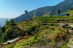 223_Chhomrong to Sinuwa_05 (andreavarju) Tags: 2018 annapurnasanctuary exploretrip nepal november sony autumn hike hiking mountains nature naturephotography sonyalpha sonyphotography travel travelphotography trekking landscape landscapephotography