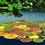 Autumn Lotus Leaves thumbnail
