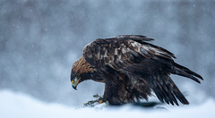 Golden Eagle (Nigey2) Tags: golden eagle goldeneagle bird birds sweden snow winter raptor