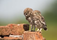 owls (Mary Bassani) Tags: owl littleowl civetta wildlifephotographer canonwildlifephotographer naturewildlife natura animallovers raptors