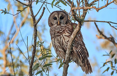 Barred Owl (dngovoni) Tags: background barred bird florida orlandowetlands owl raptor sunrise wildlife winter christmas unitedstatesofamerica us