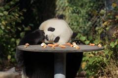 2-year-old Tian Bao (天宝) 2018-10-14 (kuromimi64) Tags: pairidaiza zoo 動物園 brugelette ブリュージュレット hainaut エノー belgium ベルギー belgique belgië europe ヨーロッパ bear クマ 熊 giantpanda ジャイアントパンダ panda パンダ 熊猫 大熊猫 tianbao 天宝