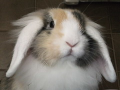 Disapproving (eveliensbunnypics) Tags: bunny rabbit lop lopeared noa lionhead baby face closeup nose mouf mouth lips pink