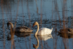 Mute Swans (Liam Waddell) Tags: mute swan water blue white pond noble dynamite factory ardeer stevenston irvine ayrshire reflection
