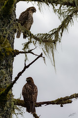 2fer (esimagecapture) Tags: 2 red tail hawks washington refuge nikon d7200 ericsteele photography juliabutlerhansen wildlifereserve naturereserve bird birds cathlamet