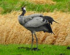 Kranich an der Boize (Sophia-Fatima) Tags: testorf mecklenburgvorpommern deutschland biosphärenreservatschaalsee kranich crane