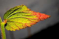 A Touch of Red and Green (donjuanmon) Tags: donjuanmon nikon nature macro closeup backlighted leaf red green yellow black veins