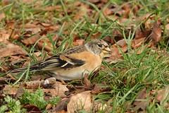 Brambling (hedgehoggarden1) Tags: brambling bird rspb wildlife nature sonycybershot animal creature norfolk eastanglia uk sony birds leaves grass feeding