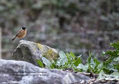 Brean Stonechat (Trevor Watts Photography) Tags: somerset gb uk england southwestengland brean breandown wildlife nikon d750 january 2019 winter cold