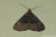 Boletobiinae (GeeC) Tags: animalia arthropoda boletobiinae butterfliesmoths cambodia erebidae insecta kohkongprovince lepidoptera nature noctuoidea tatai ឃុំឫស្សីជ្ kohkong ឃុំឫស្សីជ្រុំ kh