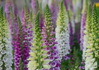Army of Foxgloves