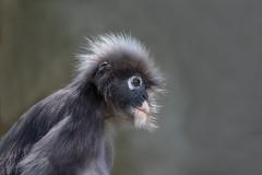 376A8345 (bon97900) Tags: adelaidezoo monkey southaustralia