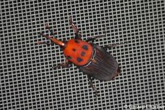 Rhynchophorus ferrugineus (Asian Palm Weevil) (GeeC) Tags: tatai animalia rhynchophorusferrugineus nature arthropoda coleoptera rhynchophorus dryophthoridae cambodia insecta curculionoidea kohkongprovince asianpalmweevil beetles snoutbeetles