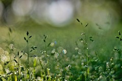 Morning dew (Stefano Rugolo) Tags: stefanorugolo pentax k5 pentaxk5 smcpentaxm50mmf17 ricohimaging morningdew 2018 morning dew bokeh depthoffield abstract manualfocuslens manualfocus manual vintageprimelens vintagelens primelens grass sweden sverige hälsingland