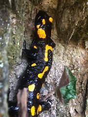 Fire Salamander (delphinusorca) Tags: iphone republicofmacedonia matkacanyon firesalamander salamander
