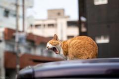 猫 (fumi*23) Tags: ilce7rm3 sony street sel85f18 85mm fe85mmf18 katze neko cat chat gato a7r3 animal alley yawn bokeh dof ねこ 猫 ソニー emount