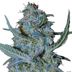 blue-cheese-seeds-fem_large (Watcher1999) Tags: blue cheese cannabis marijuana seed seeds indica stress reliever problems with growing medical strain plant smoking weed weeds ganja legalize it cannabiscannabis seedsmarijuana seedsmedical cannabismedical marijuanamedical hempmedical herbsganja smokingganja