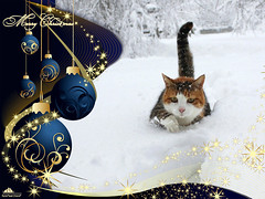 ❅ Merry Christmas  2018 ❅ (Xena*best friend*) Tags: merrychristmas monicabellucci mb snow cold cats whiskers feline katzen gatto gato chats furry fur pussycat feral tiger pets kittens kitty animals piedmontitaly piemonte canoneos760d italy wood woods wildanimals wild paws calico markings ©allrightsreserved purr digitalrebelt6s efs18135mm flickr outdoor animal pet photo nature winter merrychristmas2018 christmas2018