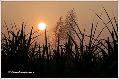 8443 - sunset (chandrasekaran a 55 lakhs views Thanks to all.) Tags: sunset arani tamilnadu india canoneos6dmarkii tamronef28300mm sugarcane