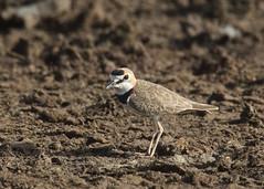 Charadrius collaris (mazama973) Tags: bird oiseau frenchguiana guyane guyanefrançaise charadriidae charadriuscollaris pluvierdazara