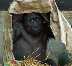 western lowlandgorilla Yanga artis 094A0350 (j.a.kok) Tags: animal artis africa afrika aap ape mammal monkey mensaap primate primaat zoogdier dier gorilla yanga westelijkelaaglandgorilla westernlowlandgorilla lowlandgorilla laaglandgorilla